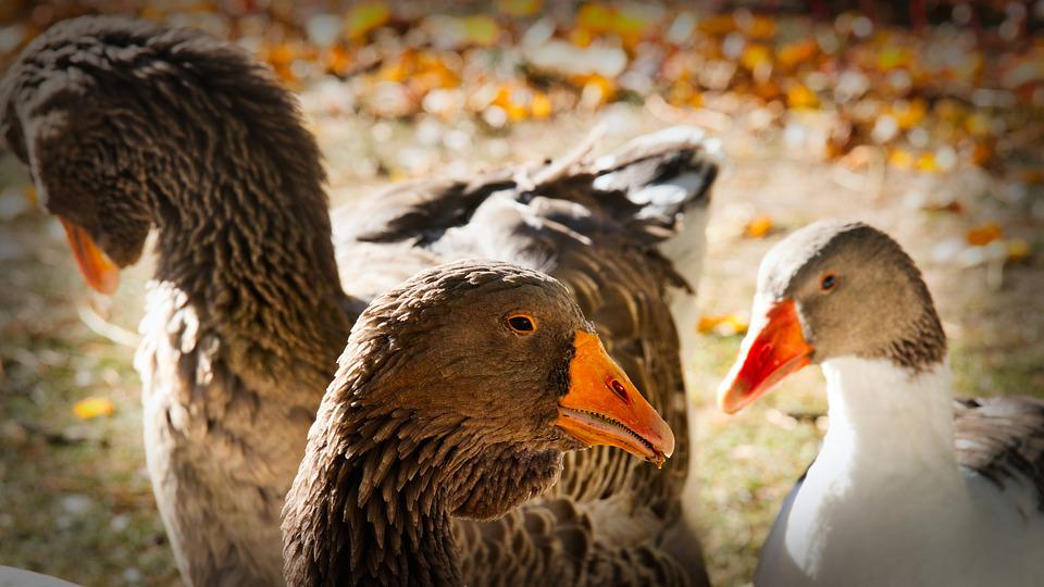 Geese, Pomeranian Goose, Market, Agriculture, Nature