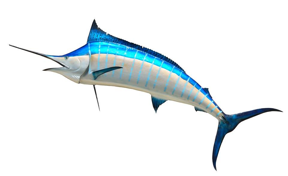 Blue Marlin, Taxidermy, Fish, Fishing, Game, Marlin