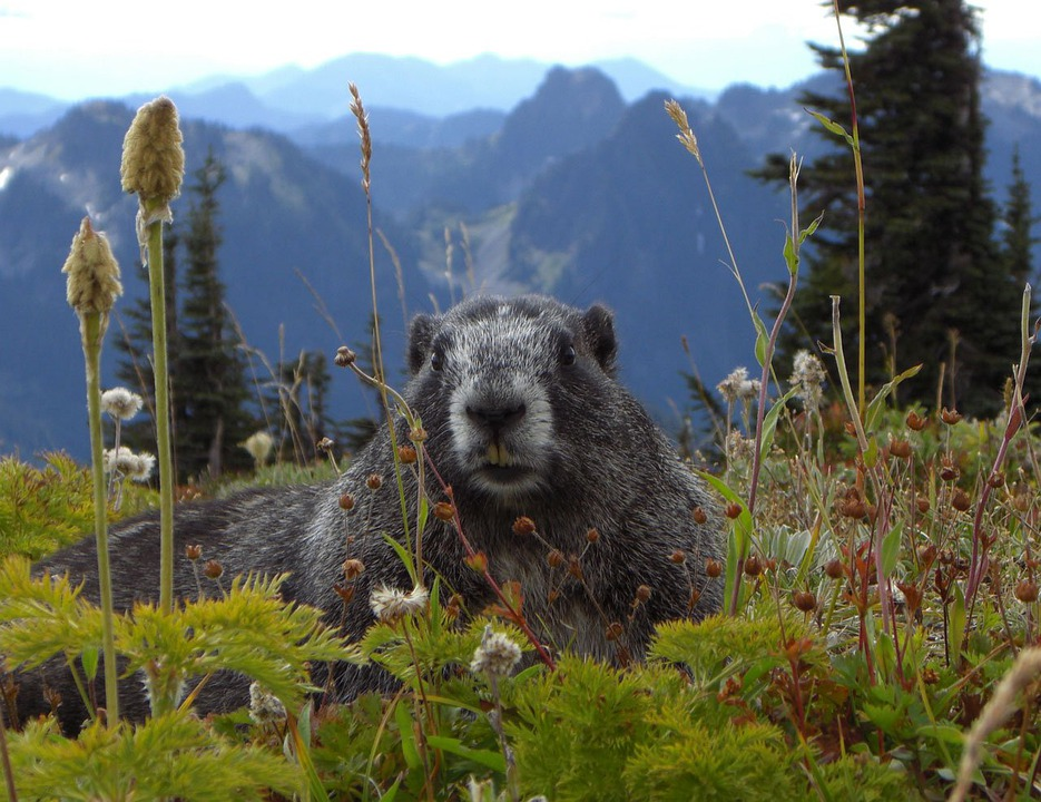 Marmot, Mammal, Animal, Mountain, Rainier, Park, Flower