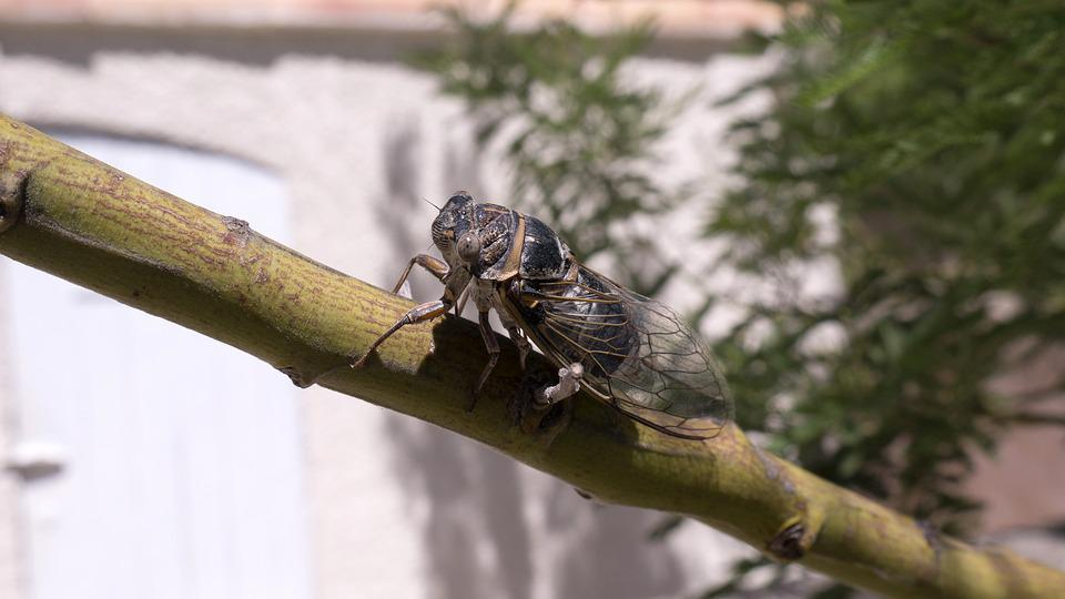 Cicada, Insect, Marseille
