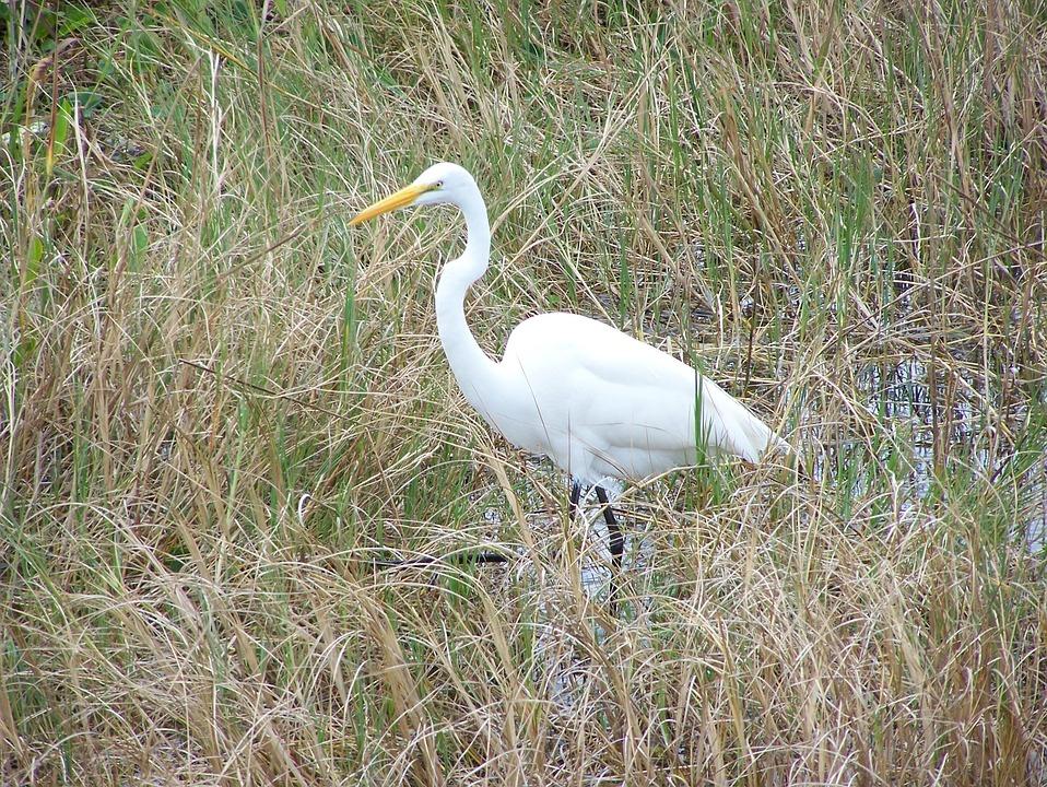 Egret, Bird, Great, Large, Stalking, White, Marsh