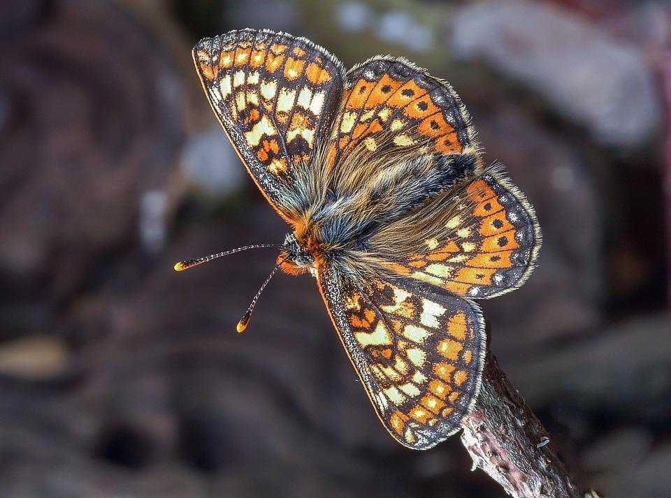 Butterfly, Marsh Fritillary, Wings, Antenna, Pattern