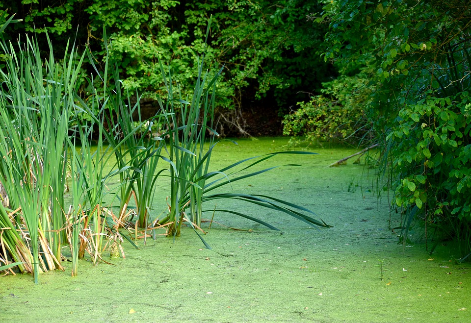 Mare, Green, Water, Plant, Marsh, Grass, Reed, Nature