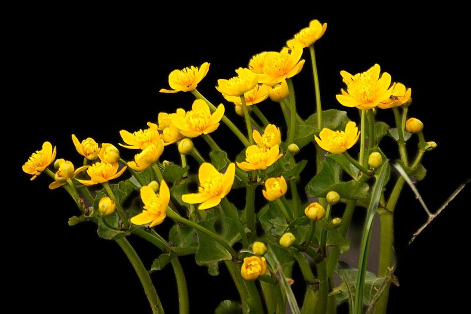 Marsh Marigold, Flowers, Plant, Yellow Flowers, Petals