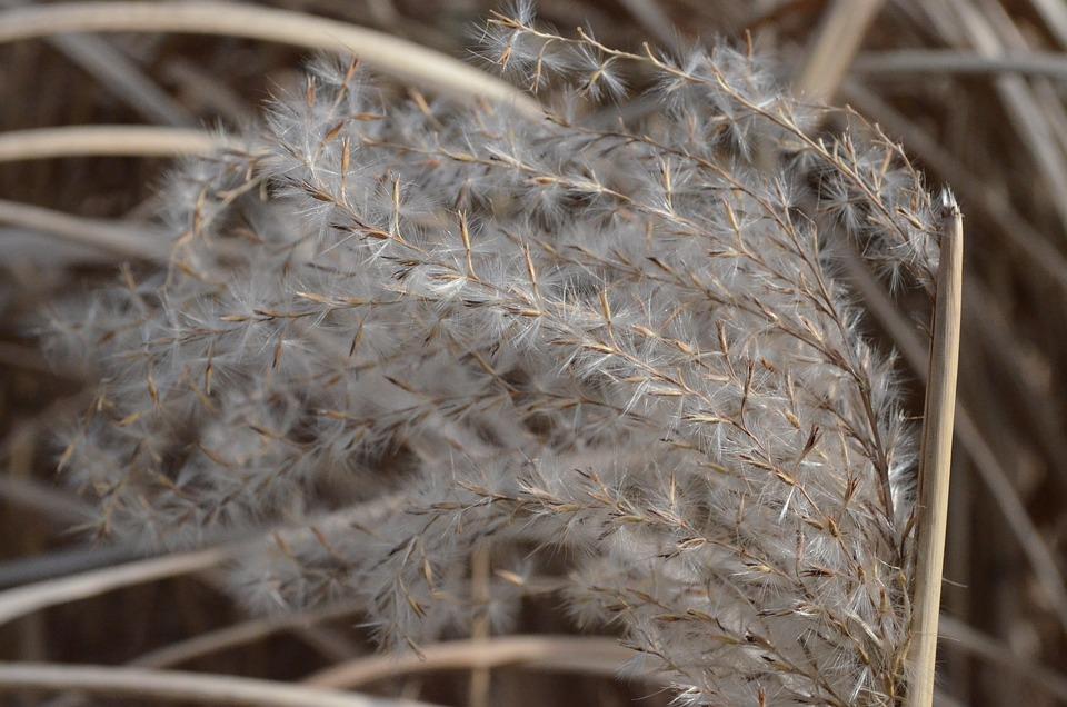Reed, Grasses, Marsh Plant