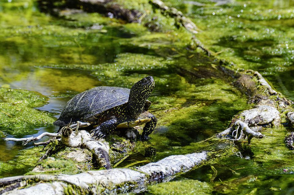 European, Marsh Turtle, Turtle, Pond, Reptile