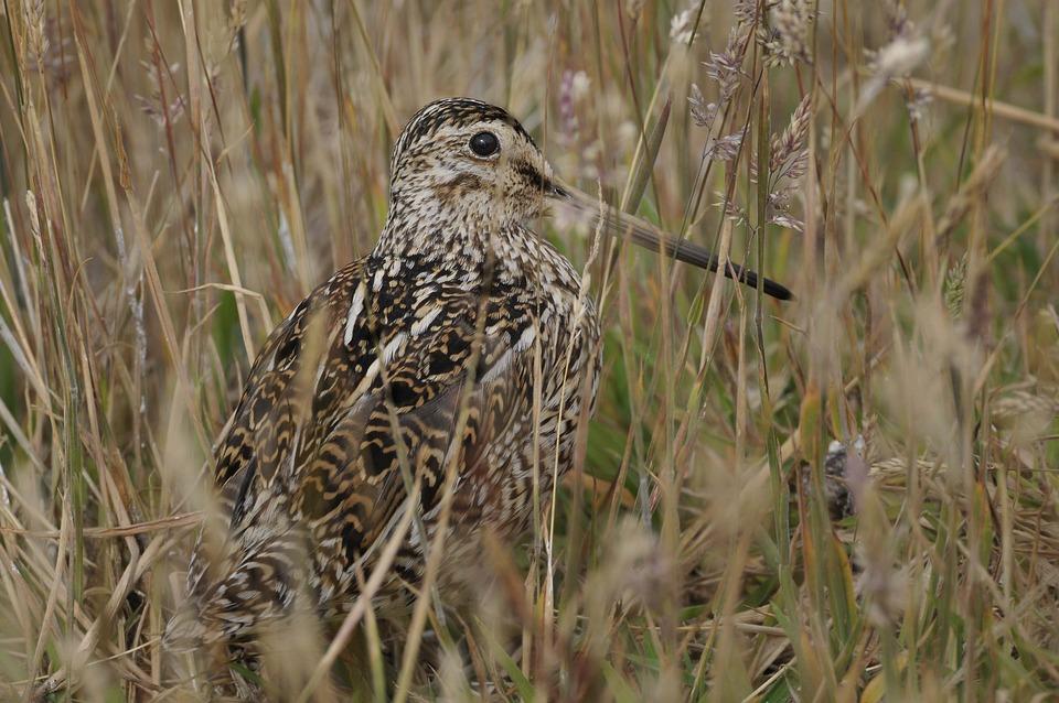 Animal World, Bird, Nature, Animal, Grass, Marsh, Wader