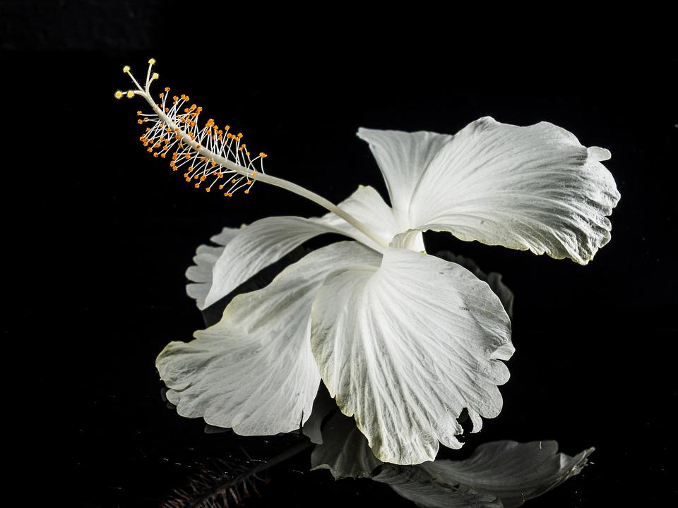 Hibiscus, Blossom, Bloom, Flower, White, Marshmallow