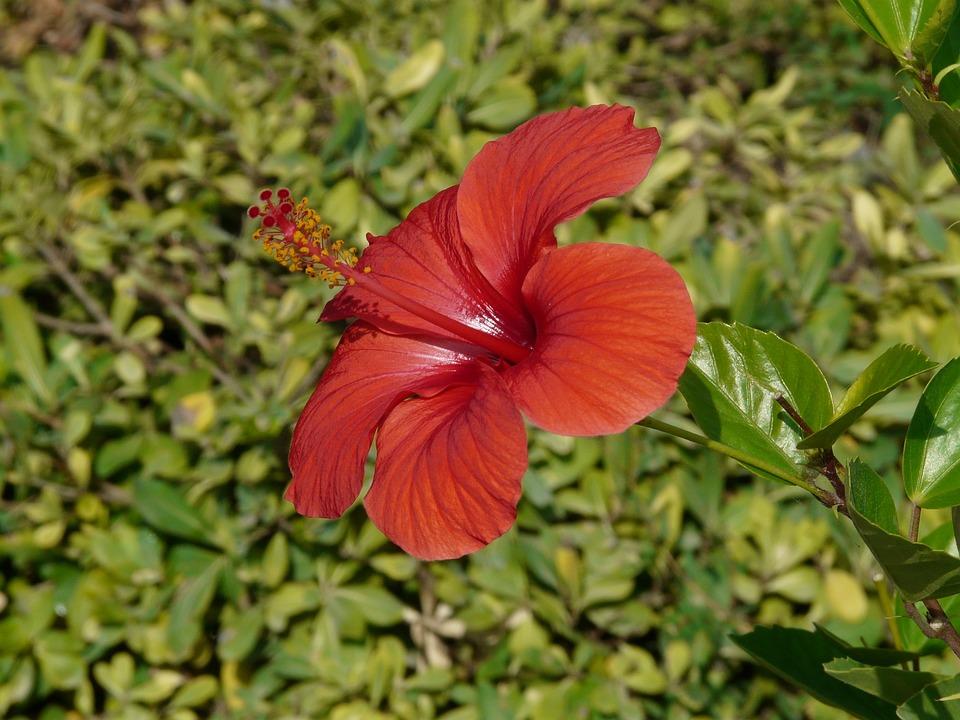Hibiscus, Marshmallow, Mallow, Malvaceae