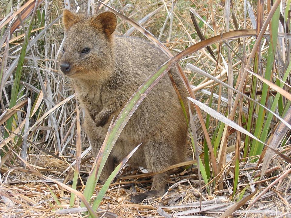 Quokka, Australia, Rottnest, Indigenous, Marsupial