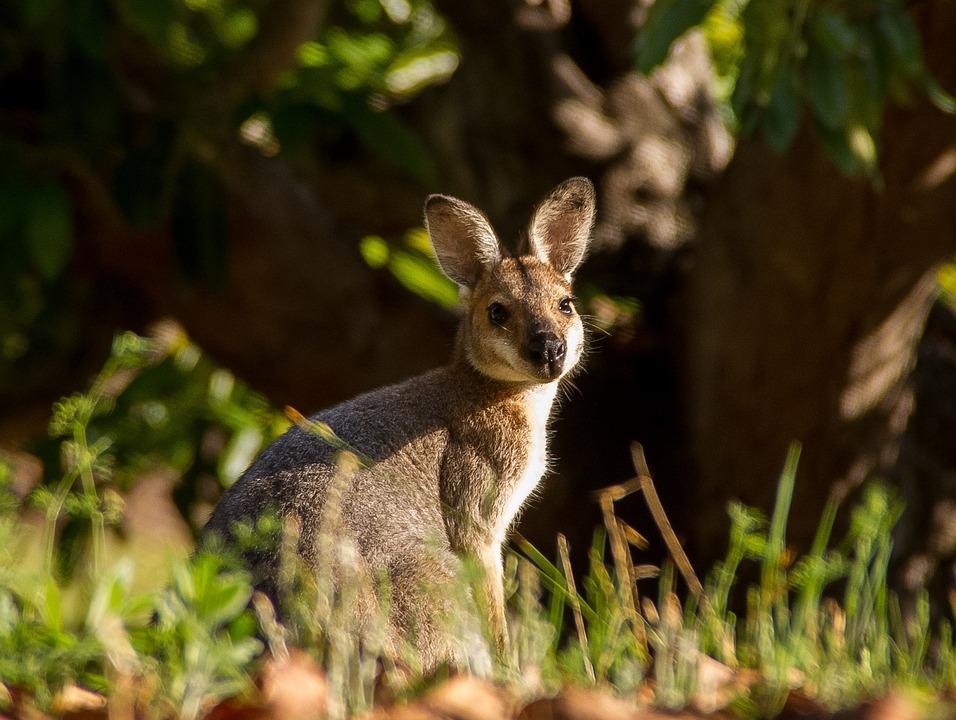 Wallaby, Marsupial, Young, Juvenile, Animal, Australia