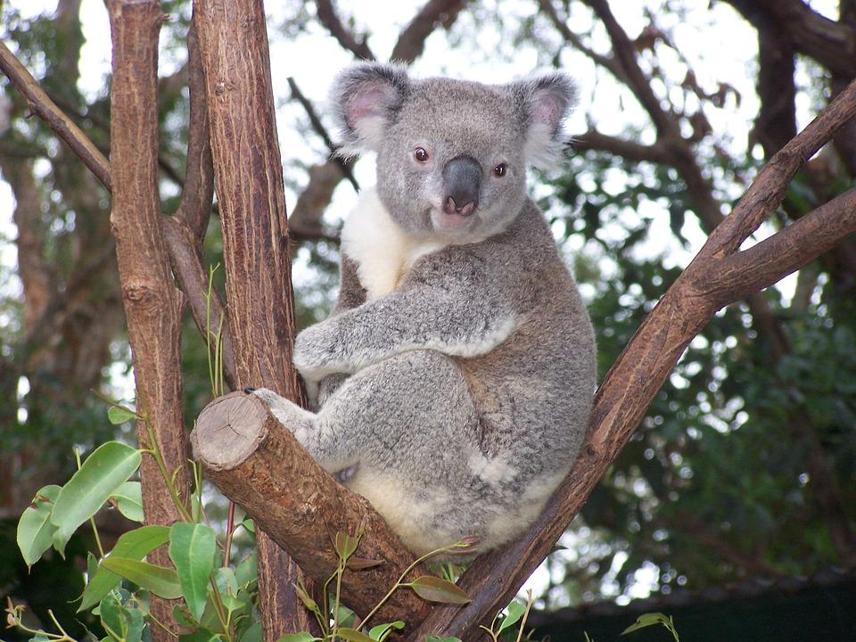 Koala, Australian Wildlife, Marsupial