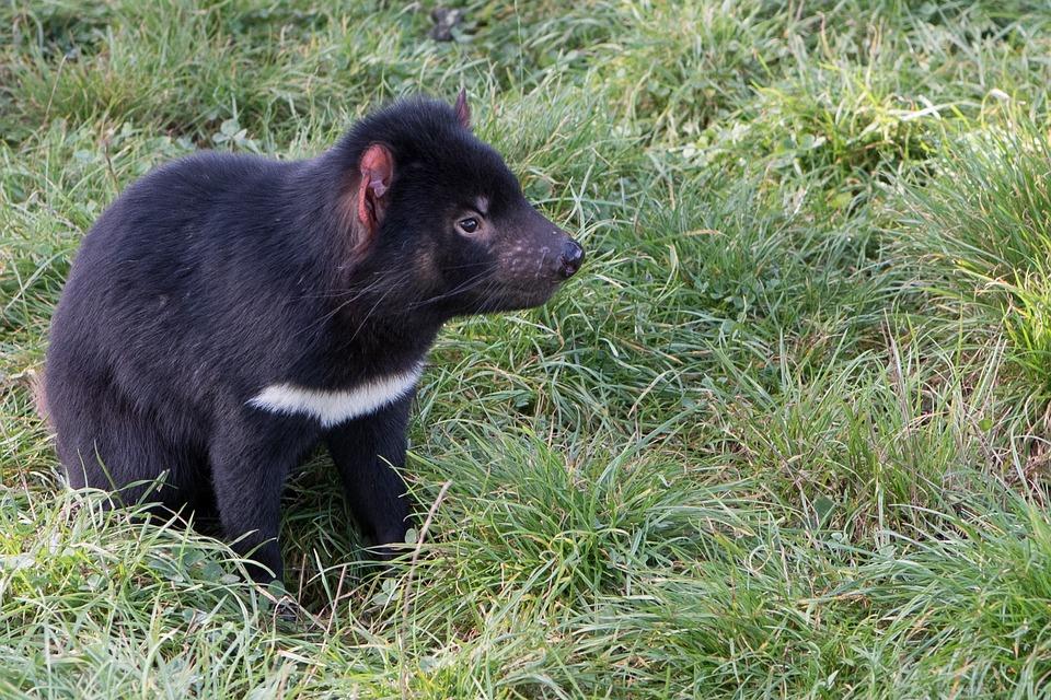 Tasmanian Devil, Tasmania, Marsupial, Endangered