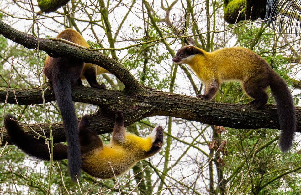 Animal World, Marten, Yellow Throated Marten, Wild