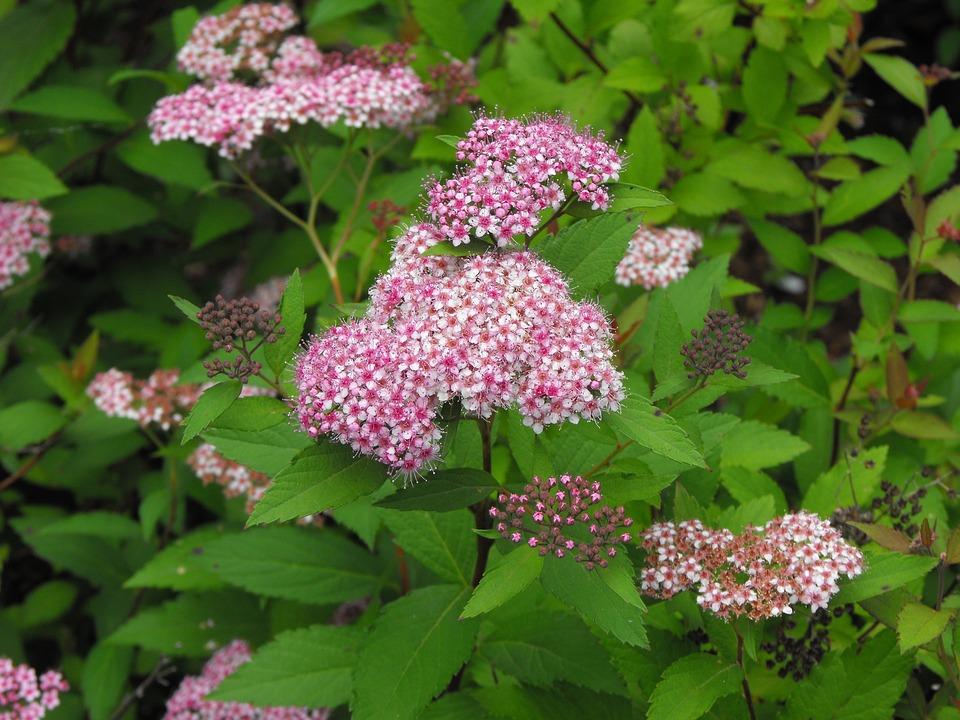 Pink Flower, Martha's Vineyard, Summer, Flowers