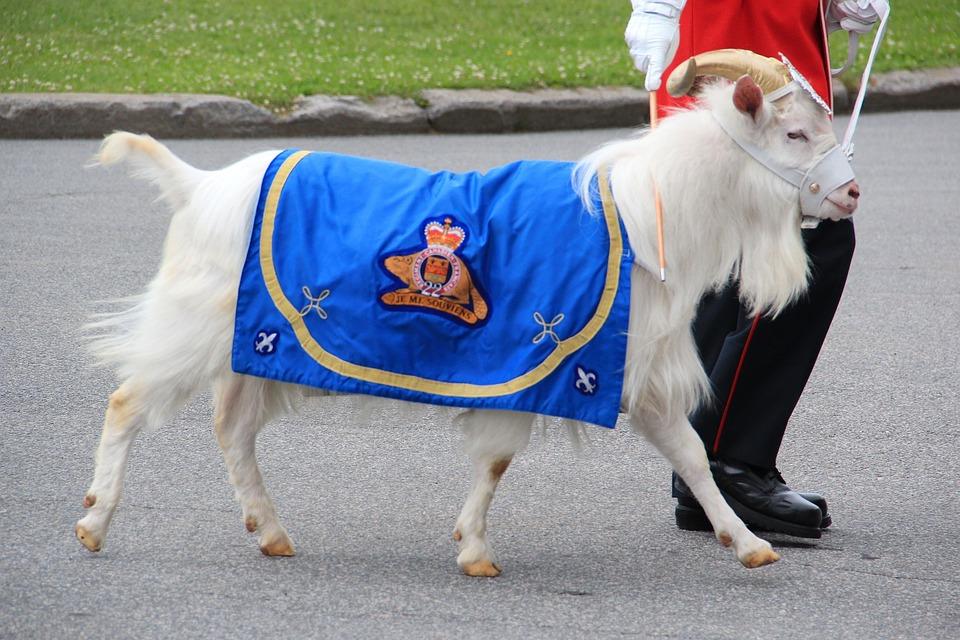 Goat, Mascot, Canada, Military, Cute, Blanket