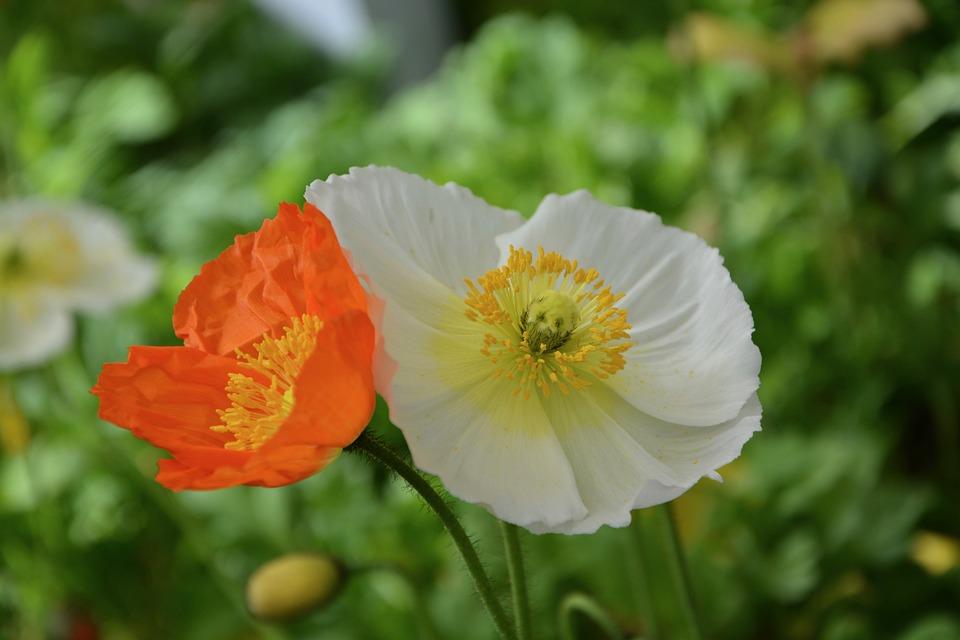 Poppy Flowers, Nature, Massif, Decoration, Flower
