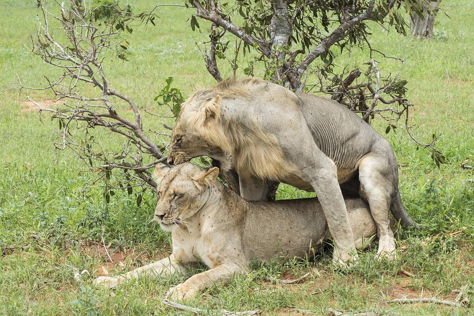 Lion, Mate, Mating, Lioness, Angry, Wild, Animal
