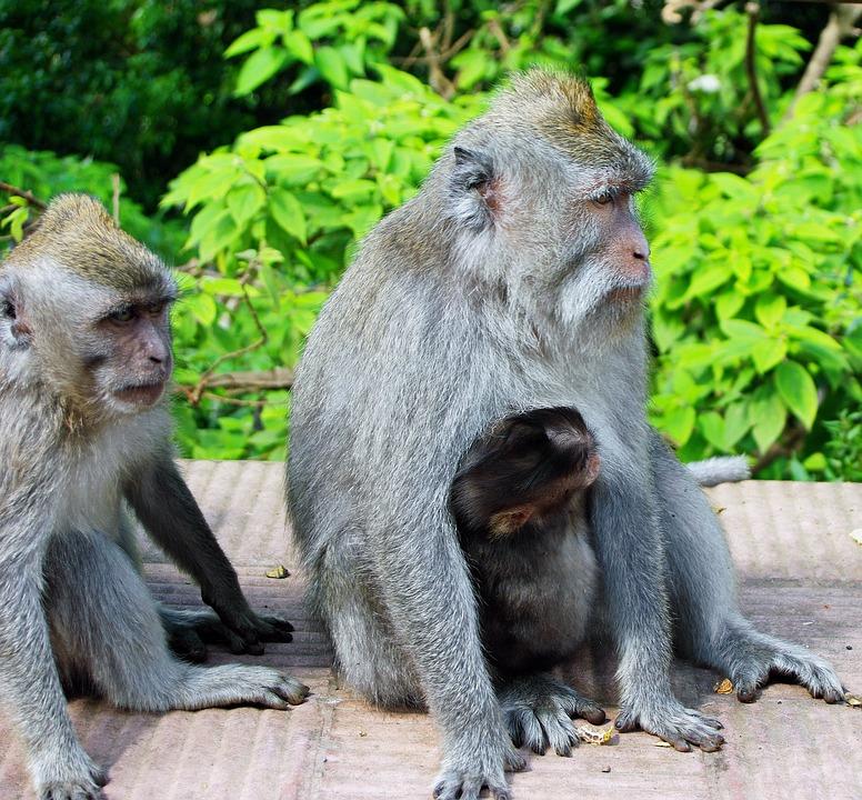 Indonesia, Java, Monkey, Maternity, Primate, Guenon