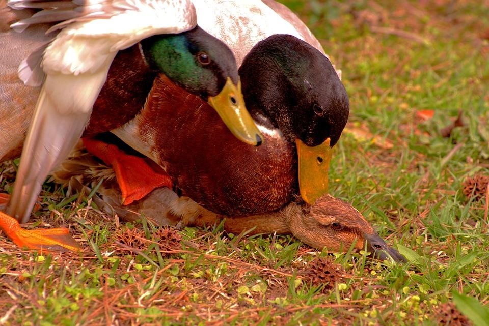 Mating, Duck, Mallard, Spring, Bird, Nature, Waterfowl