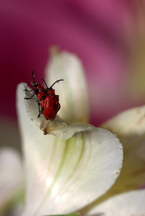 Insects, Red, Mating, Petals, Nature