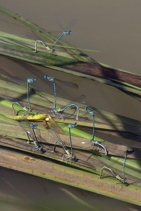 Dragonflies, Mating, Water