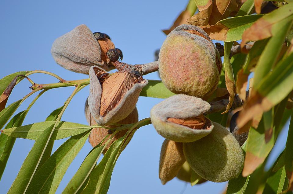 Almonds, Maturation, Dried Fruits, Almond Tree