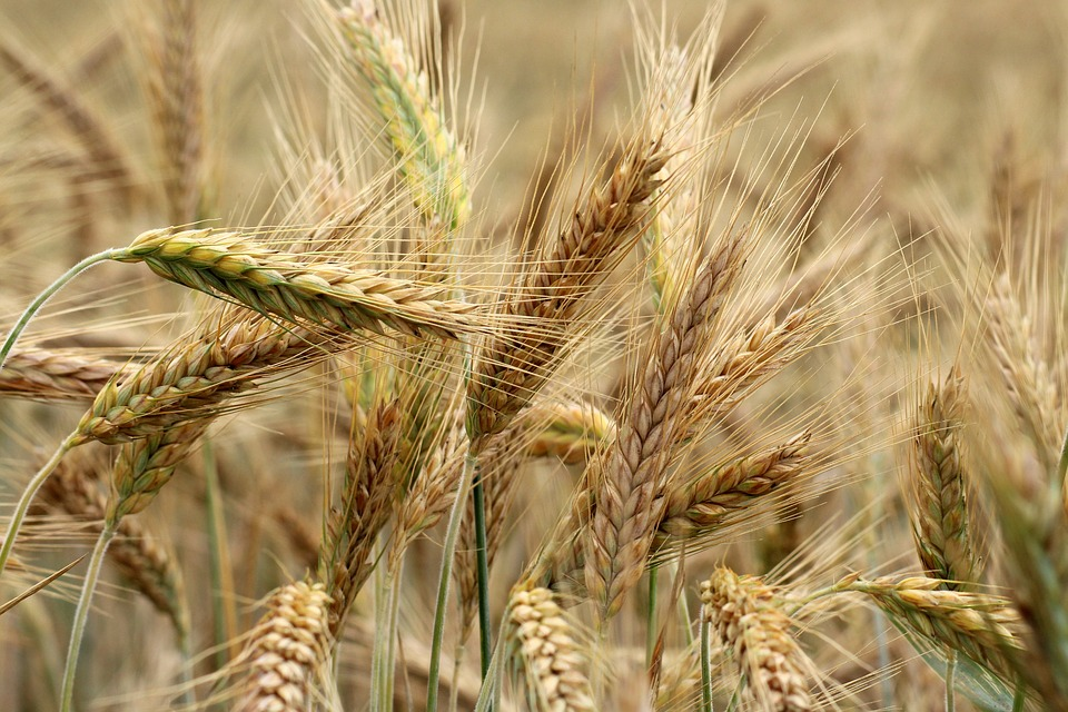Barley, Corn, Maturation, The Cultivation Of