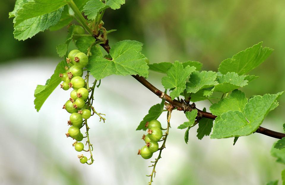 Currant, Maturation, Spring, Fruit, Bush, Green, Leaf