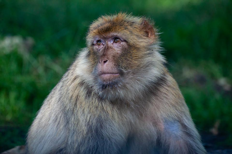 Barbary Macaque, Mature Barbary Macaque, Monkey