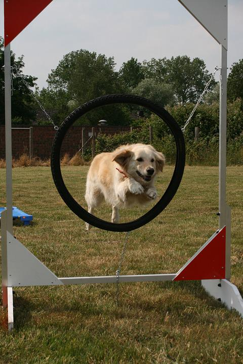 Dog School, Dog, Mature, Pet, Purebred Dog, Obedient