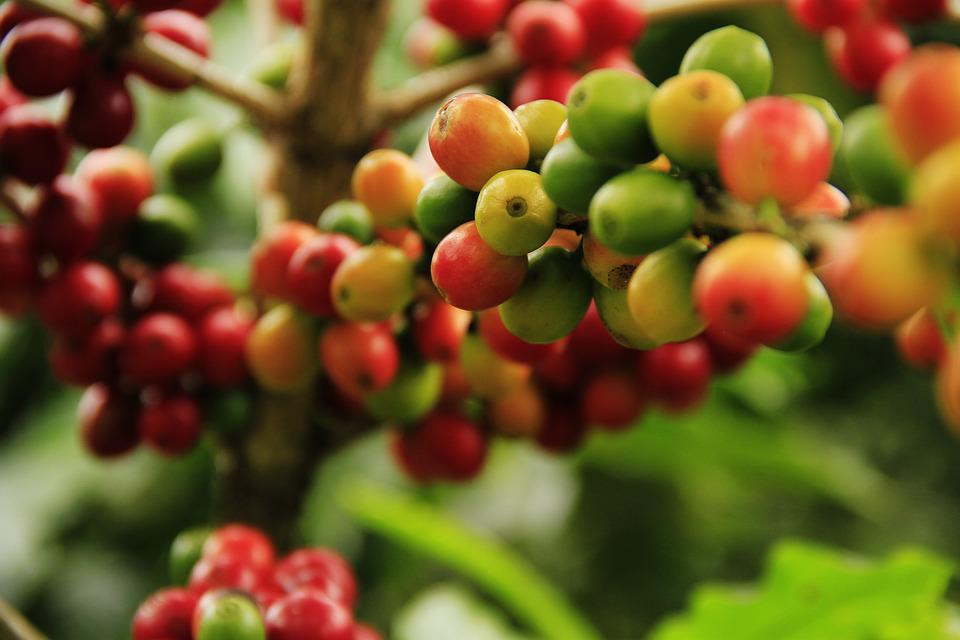 Coffee Grains, Mature, Agriculture, Plant, Raw, Crop