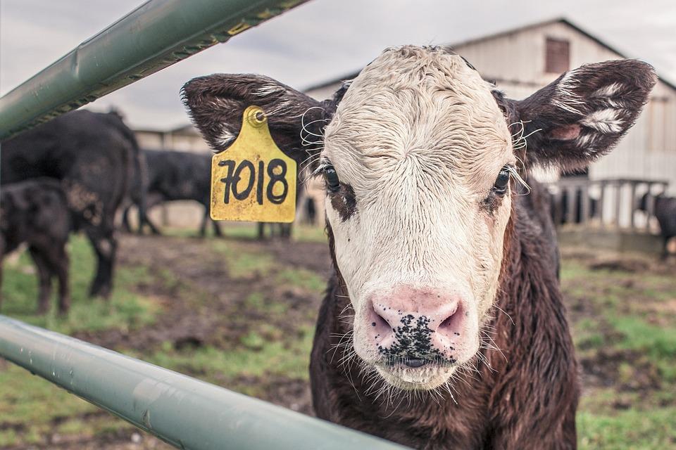 Calf, Cow, Maverick, Farm Animal, Farm, Rural