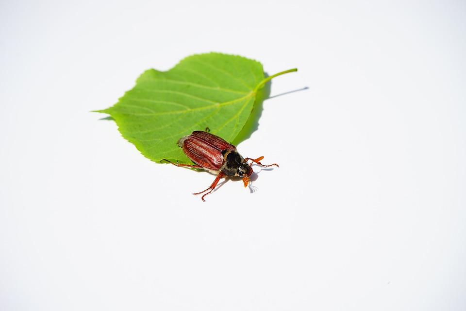 Maikäfer, Beetle, Insect, Krabbeltier, Spring, May