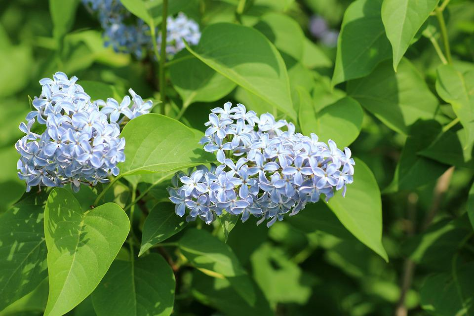 Without, May, Spring, Bush, Flowering, Blue Flowers