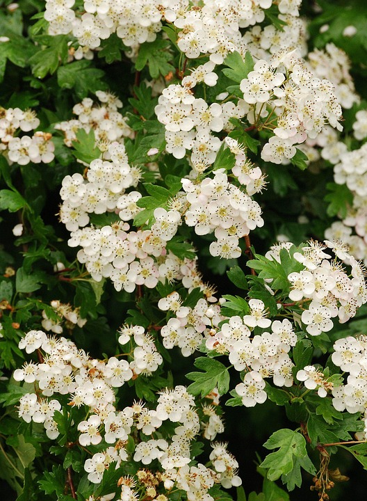 Hawthorn, May-tree, White, Blossom, Close-up, Flower