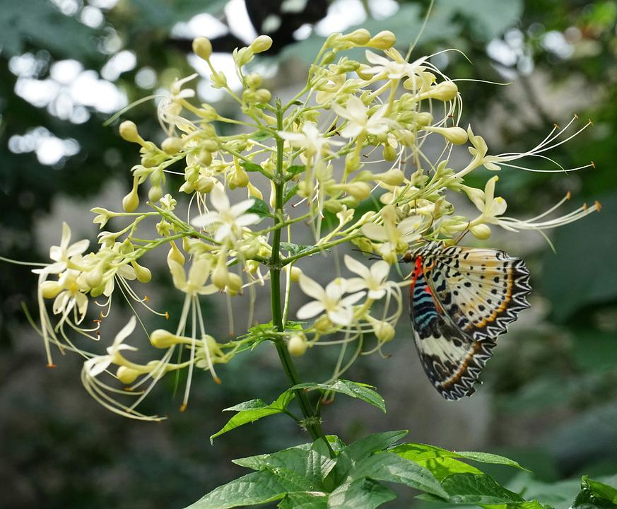 Mayflower Glorybower, Clerodendrum, Flower, Butterfly