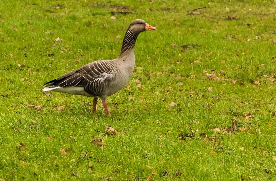 Wild Goose, Meadow, Green, Bird, Nature, Animal