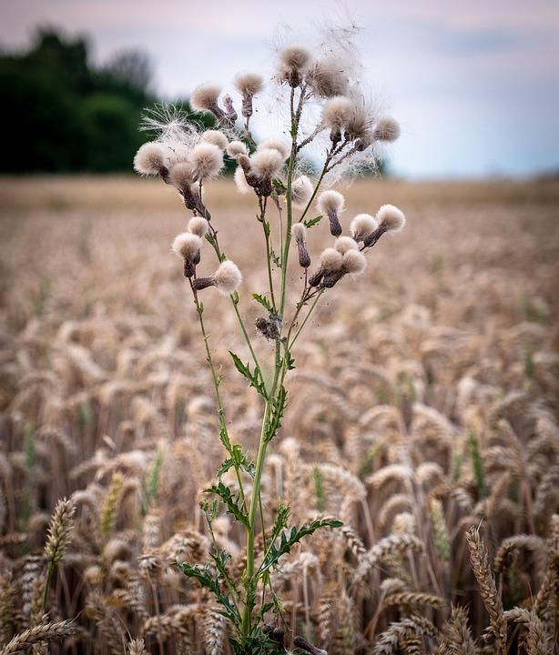 Grass, Bush, Wheat, Field, Arable, Meadow, Barley