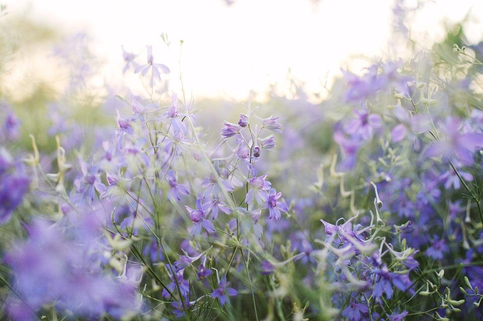 Blooming Field, Summer, Violet Flowers, Meadow