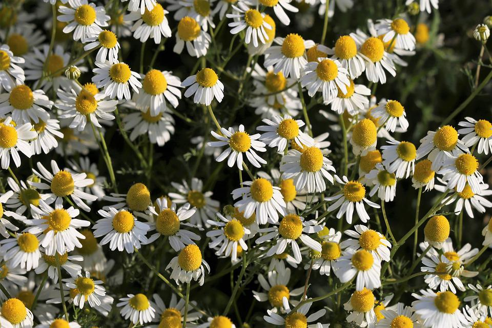 Chamomilla Flower, Blooming, Plant, Meadow, Spring