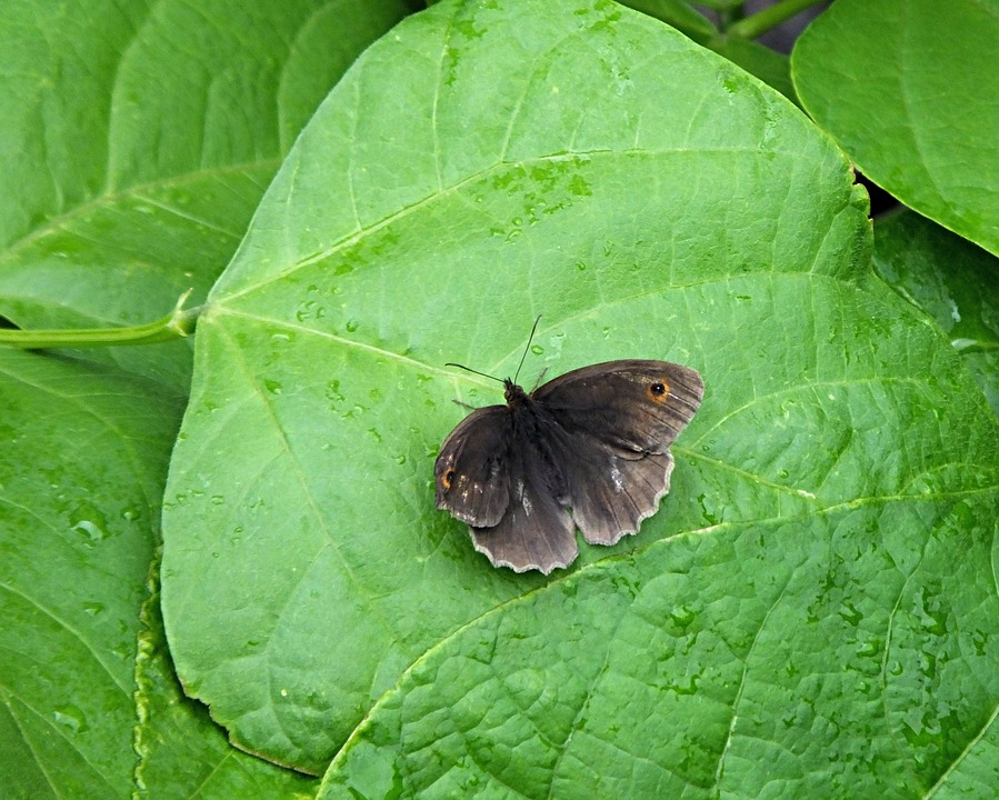 Butterfly, Meadow Brown, Brown, Leaf, Insect, Garden