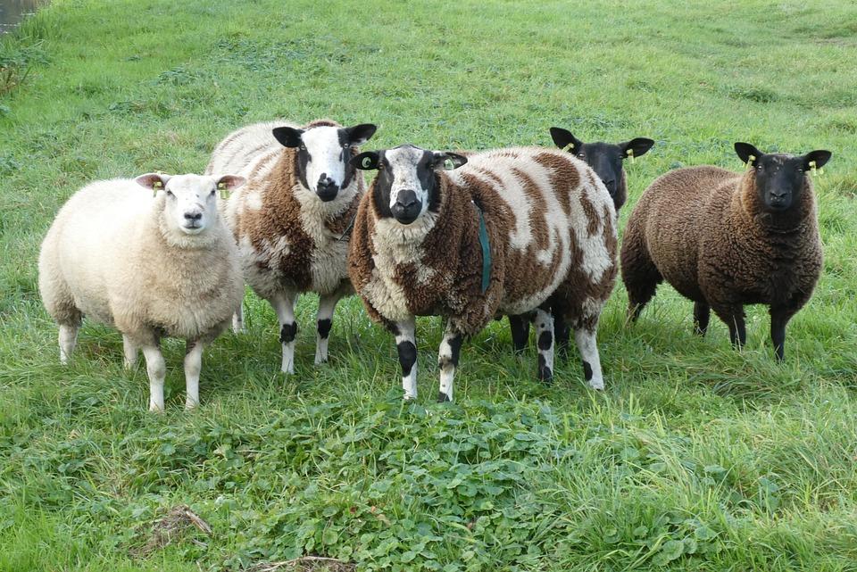 Sheep, Meadow, Wool, Animals, Herd, Cattle, Grass
