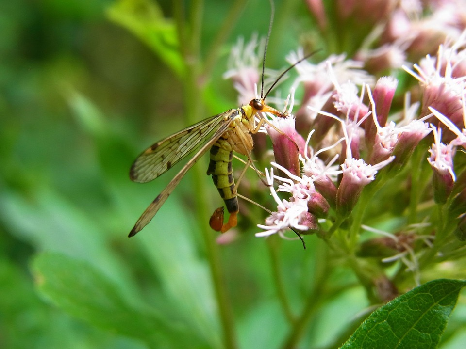 Communis, Insect, Animal, Nature, Meadow, Fly