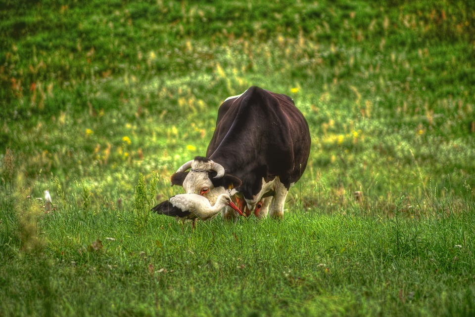 Meadow, Cow, Stork, Animals, Pasture Land, Cattle