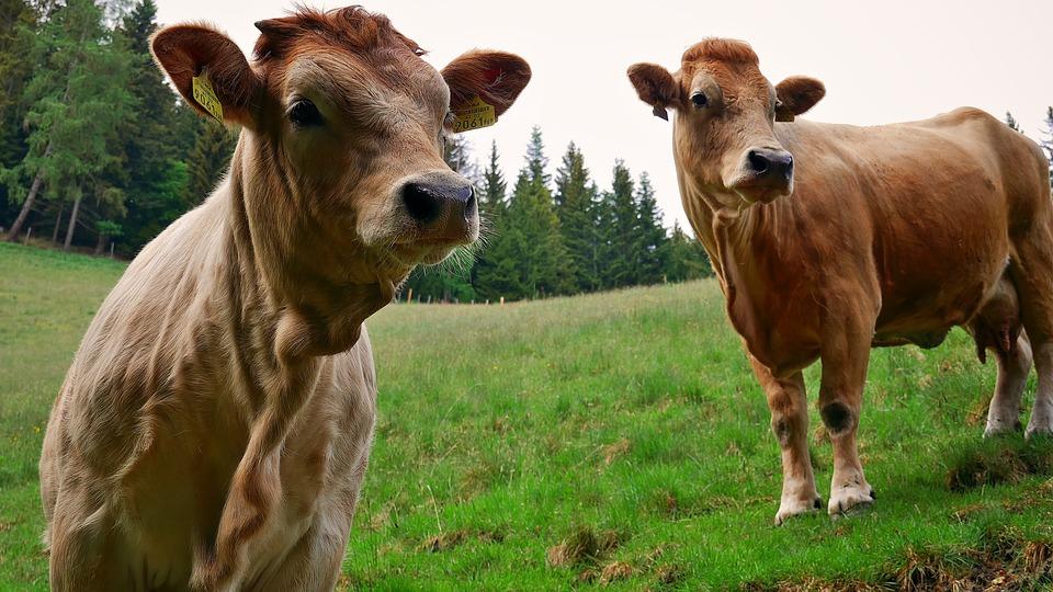 Cattle, Calf, Cow, Farm, Cows, Animal, Pasture, Meadow