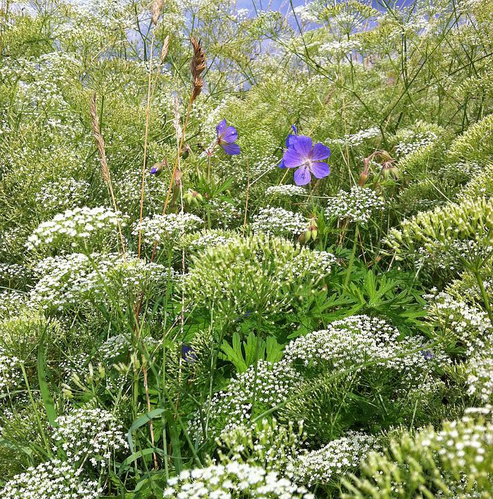 Meadow, Pointed-chervil, Chervil, Meadow Cranesbill