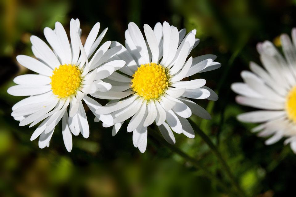 Meadow, Daisy, Bellis Philosophy, Tausendschön