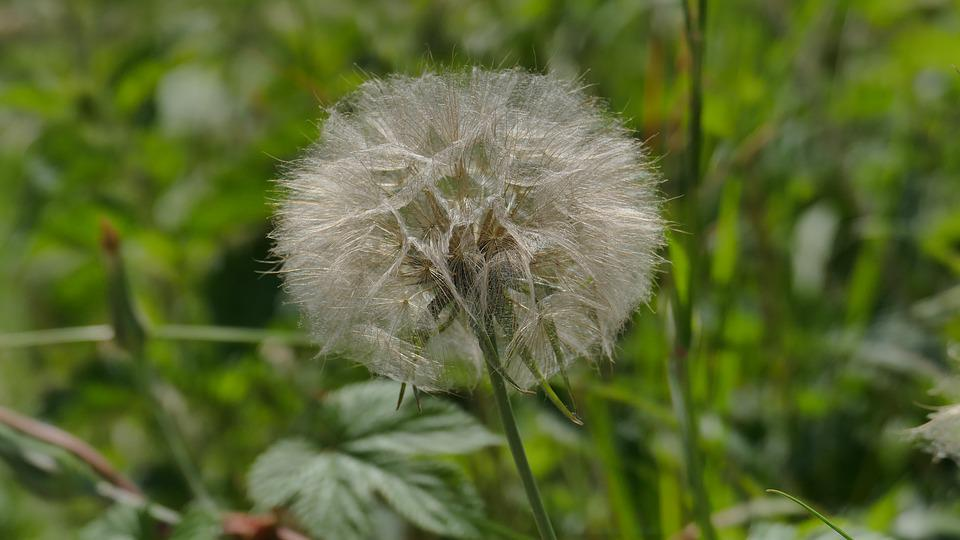 Dandelion, Meadow, Spring, Seeds, Plant, Pointed Flower