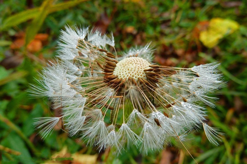 Dandelion, Nature, Plant, Flowers, Spring, Sun, Meadow